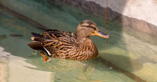 Female mallard duck. Swimming in a pond. Close-up photo Royalty Free Stock Photography