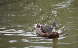 Female mallard duck. Swimming towards the lake shore Royalty Free Stock Images