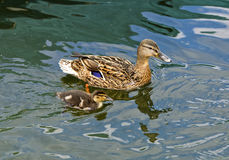 Female Mallard duck with fledgling. Female Mallard duck (Anas platyrhynchos) with  fledgling swimming in a pond Royalty Free Stock Image