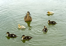Female Mallard duck with fledglings Royalty Free Stock Photography