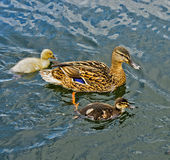 Female Mallard duck with fledglings. Female Mallard (Anas platyrhynchos) with fledglings swimming in a pond Royalty Free Stock Image