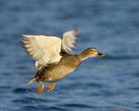 Female Mallard Duck In Flight. A female Mallard Duck flying over water with the shoreline in the background Stock Image