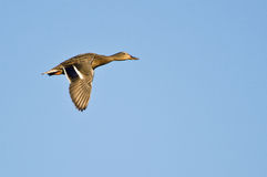 Female Mallard Duck in Flight Stock Images