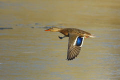 Female mallard duck in flight Royalty Free Stock Image