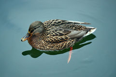 A female mallard duck. Floating on the pond Stock Photo