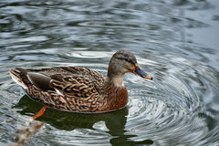 A female mallard duck. Floating on the pond Royalty Free Stock Photos
