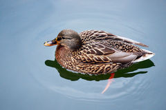 A female mallard duck. Floating on the pond Stock Images