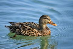 Female mallard duck. Floating on the water Royalty Free Stock Images