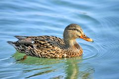 Female mallard duck. Floating on the water Stock Images