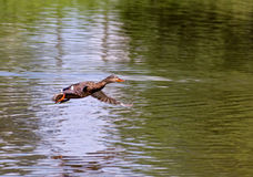 Female Mallard Duck Flying Above Lagoon Stock Photography