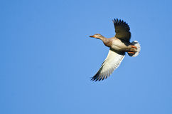 Female Mallard Duck Flying in a Blue Sky Stock Images