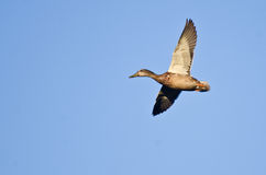 Female Mallard Duck Flying in a Blue Sky. Female Mallard Duck Flying in a Clear Blue Sky Stock Photography