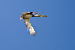 Female Mallard Duck Flying in a Blue Sky. Female Mallard Duck Flying in a Clear Blue Sky Royalty Free Stock Photography