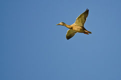 Female Mallard Duck Flying in a Blue Sky. Female Mallard Duck Flying in a Clear Blue Sky Royalty Free Stock Images