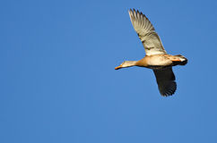 Female Mallard Duck Flying in a Blue Sky. Female Mallard Duck Flying in a Clear Blue Sky Stock Photos