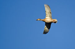 Female Mallard Duck Flying in a Blue Sky. Female Mallard Duck Flying in a Clear Blue Sky Stock Image
