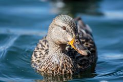 Mallard Hen Floating in Blue Water. Female Mallard Duck Frontal View With An Angled Well Lit Head Royalty Free Stock Photo