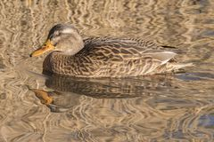 A female mallard duck on a golden backdrop Royalty Free Stock Photos