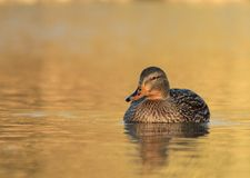 Female mallard duck Royalty Free Stock Photography