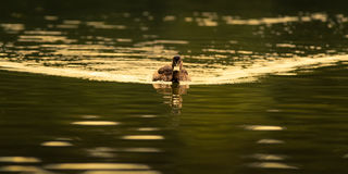 Female Mallard Duck On Golden Water Stock Photos
