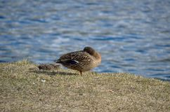Female mallard duck on grassy field. Near sea shore Stock Photos