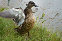 Female Mallard duck on the grassy shore. Anas platyrhynchos Royalty Free Stock Photo