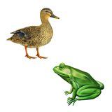 Female mallard duck, Green frog with spots Royalty Free Stock Photo