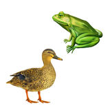 Female mallard duck, Green frog with spots, toad. Female mallard duck, Green frog with spots, spotted toad, Isolated on white Stock Image