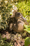 Female Mallard Duck Hatching Eggs in Bushes. Surrounded by bushes and shade, this protective female Mallard duck keeps keenly aware of her surroundings while Stock Images