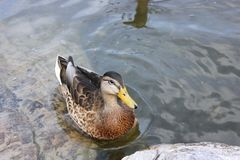 Female mallard duck having a break in a lake royalty free stock photography