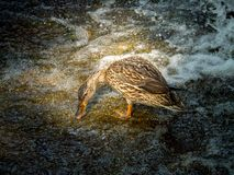 Female mallard duck having breakfast on a stone near a waterfall. The female mallard duck having breakfast on a stone near a waterfall Royalty Free Stock Photography