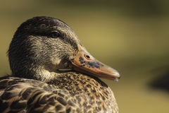 Female Mallard Duck head profile Royalty Free Stock Images