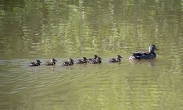 Female Mallard duck with her ducklings. Swimming on a lake Stock Photos