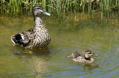 Female Mallard duck and here duckling. HIHI, NZ - NOV 23:Female Mallard duck and here duckling swim in a pond on Nov 232013. The mallard is one of the most Royalty Free Stock Image