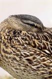 Female Mallard Duck Hiding Beak Royalty Free Stock Photography