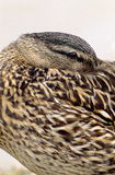 Female Mallard Duck Hiding Beak. A female Mallard Duck resting with its beak tucked into its wing Stock Photography