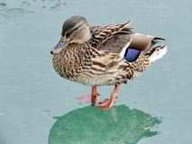 Toronto Lake female Mallard duck on the ice 2018. Female Mallard duck on the ice of the Lake Ontario in Toronto, Canada, January 25, 2018 Royalty Free Stock Images