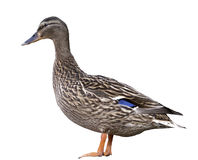 Female Mallard Duck isolated Royalty Free Stock Images