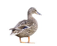 Female Mallard Duck isolated. On white background Royalty Free Stock Photos