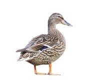 Female Mallard Duck isolated Royalty Free Stock Photos