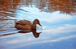 Female Mallard duck and its reflection in lake