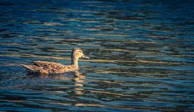 Female Mallard Duck on a lake Royalty Free Stock Photo