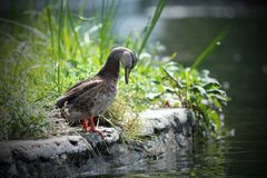 Female mallard duck on the lake shore Stock Photography