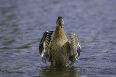 Female mallard duck. On a lake showing flight feathers Royalty Free Stock Photography