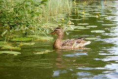 Female mallard duck. In a lake with waterlilies and reeds Royalty Free Stock Images