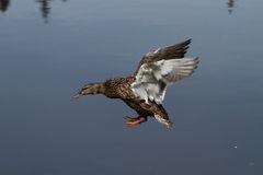 Female Mallard Duck Landing on a Lake with Wings Extended. Single female duck landing with side view Stock Photos