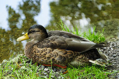 Female mallard duck. Laying on grass Stock Photography
