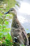 Female mallard duck. Laying on grass Royalty Free Stock Images