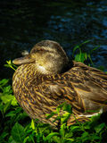 Female Mallard Duck 1 Stock Images