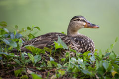 Female Mallard Duck. A female Mallard duck nestled in ivy Royalty Free Stock Photos